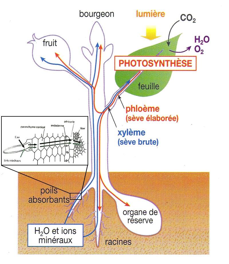 plante circulation